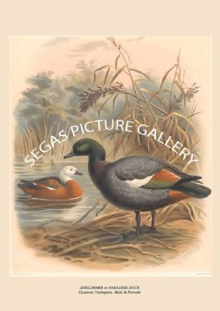 SHELDRAKE or PARADISE DUCK - Casarca Variegata, Male & Female